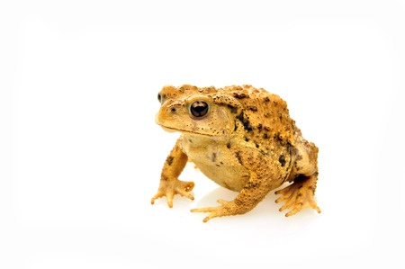 animals amphibious: Yellow colour frog isolated on white background
