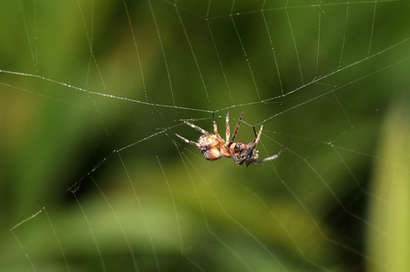 beneficial insect: spider on the web Stock Photo