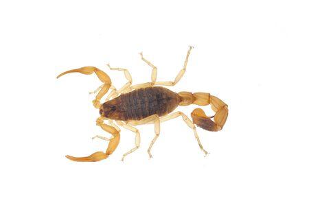 sustancias toxicas: escorpión en un fondo blanco Foto de archivo