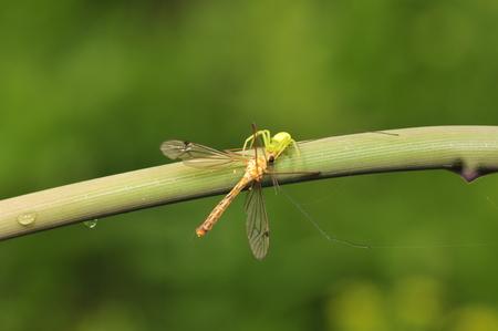 crane fly: A spider caught a crane fly