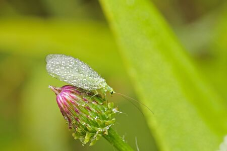 lacewing: dew on the lacewing fly