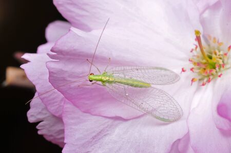 lacewing: Lacewing flies on the pink petals
