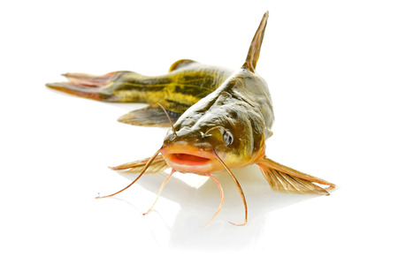 Catfish isolated on a white background