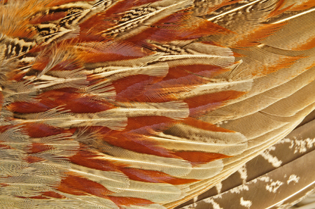 pheasant: Pheasant feather