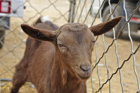 brown goat: Close up to a brown goat