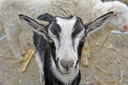 land mammals: Goat