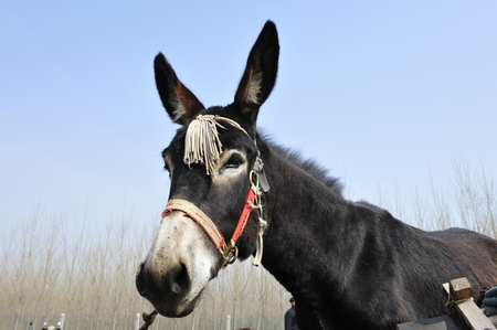 ears donkey: Donkey Stock Photo