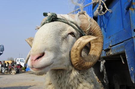 sheep eye: The sheep