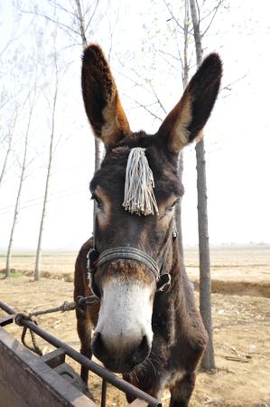 mules: donkey