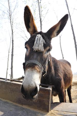 vulgar: donkey