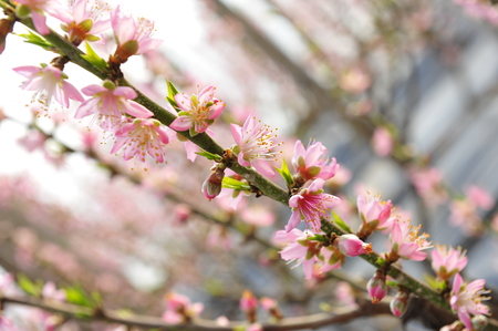 stamen wasp: The peach blossom in the greenhouses