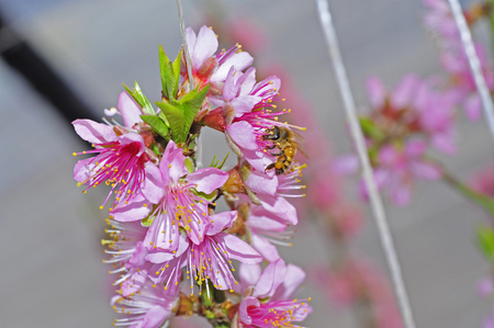 stamen wasp: Bee on the pollen of peach blossom Stock Photo