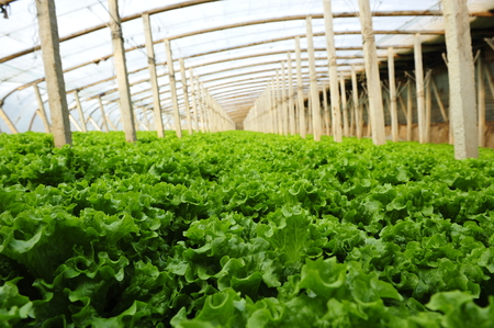 monoculture: Vegetables in greenhouses