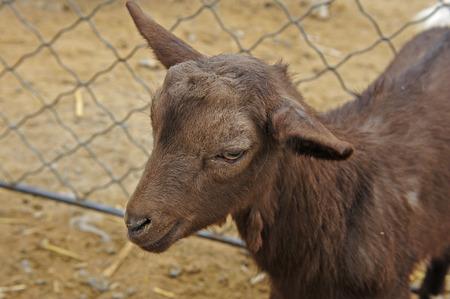 brown: brown sheep