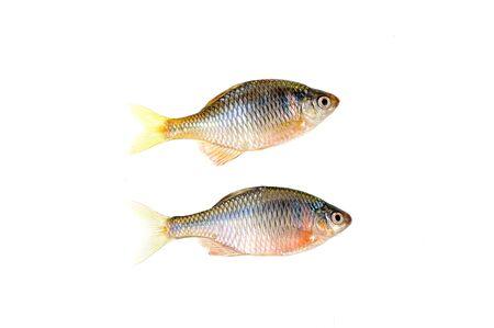 El pescado sobre un fondo blanco