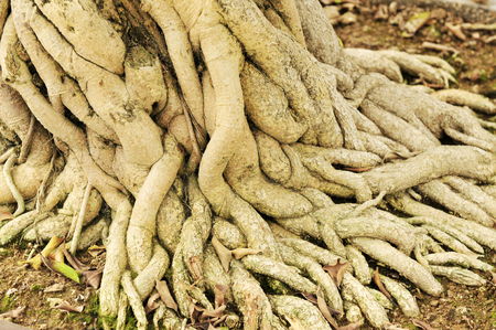 entanglement: Banyan tree roots in a garden, north china Stock Photo