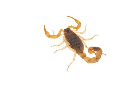sustancias toxicas: El escorpi�n en un fondo blanco Foto de archivo