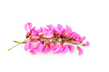 fragile peace: The acacia flowers of pink isolated on a white background Stock Photo