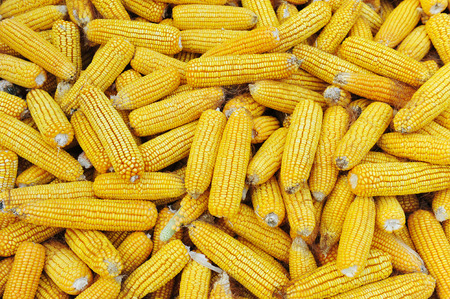 raw gold: Many corn heap together Stock Photo