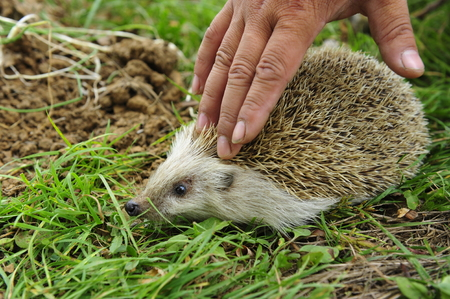 lactation: The hedgehog