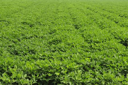 earth nut: Peanuts on the farm