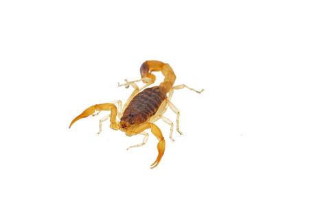 sustancias toxicas: El escorpión en un fondo blanco Foto de archivo