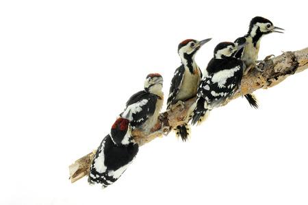 birds on branch: woodpecker