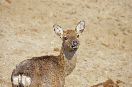 crus: The deer