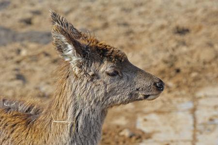 crus: The deer