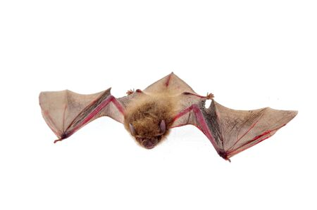 sue: The bat on a white background