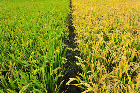 paddy fields: Paddy fields