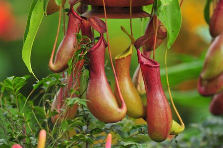suffocation: pitcher plants in a greenhouse Stock Photo