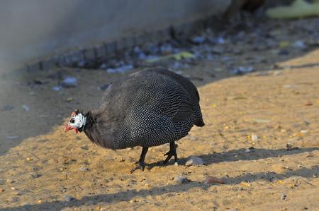 guinea: Guinea fowl in farm Stock Photo