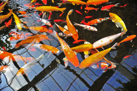 tropical fresh water fish: Koi fish in the pond