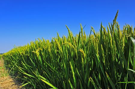 paddy fields: Paddy fields under the blue sky Stock Photo