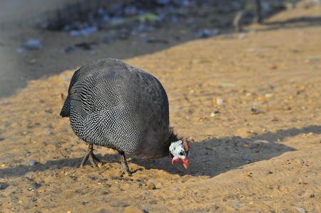 guinea fowl: Guinea fowl in farm Stock Photo