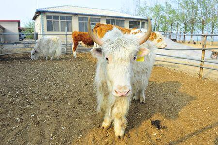 hoofed animals: The cow farm