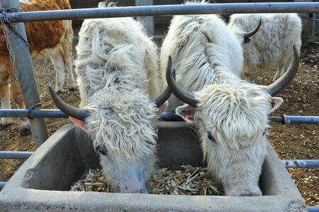 hoofed animals: The cow