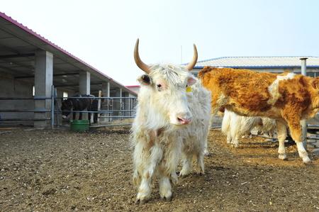 hoofed animals: cow