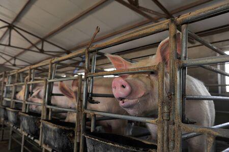 pigsty: The farm pigs