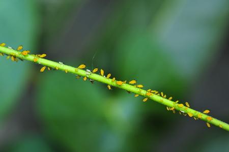 aphids Stock Photo