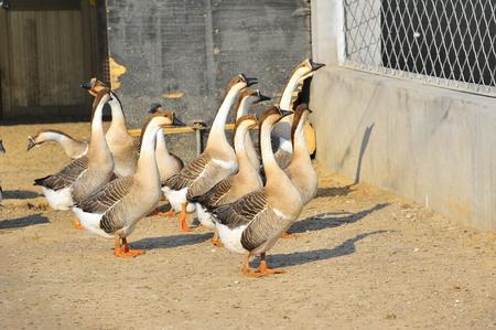 domestication: goose Stock Photo