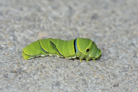 The larva of a butterfly