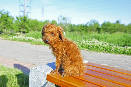 domestication: Poodle Dog Stock Photo