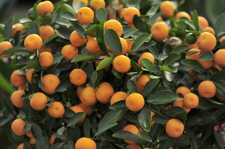 Ripe oranges hanging in a tree Stock Photo