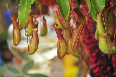 pitcher plants in a greenhouse Stock Photo