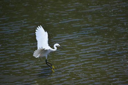 gray herons:  egrets