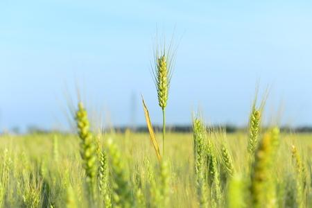 wheat 写真素材