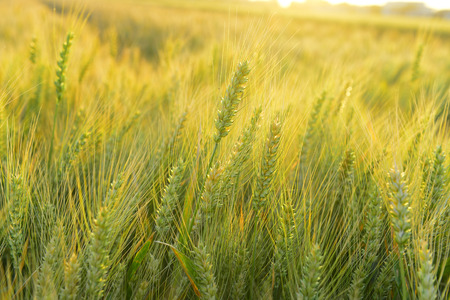 wheat close up view