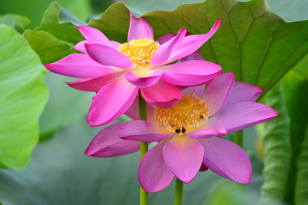 Close up view to a lotus in the pond Stock Photo